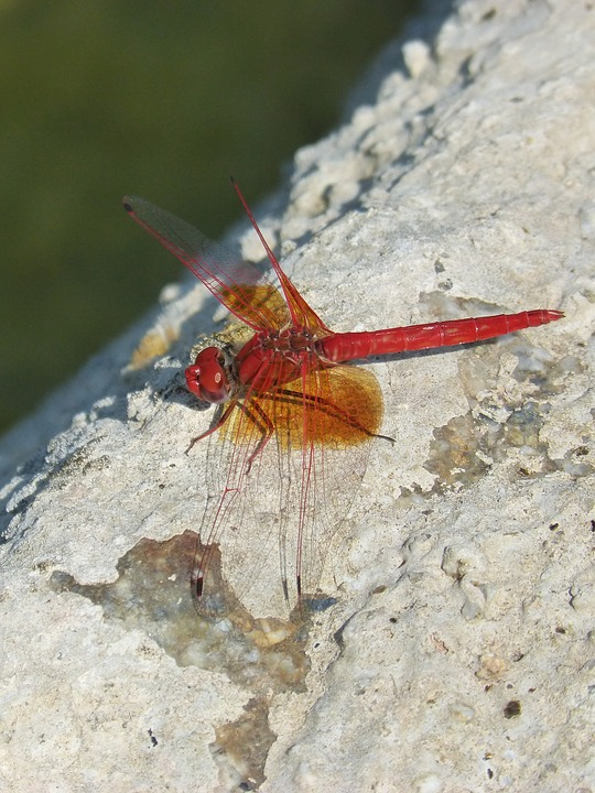 Attract Dragonflies to Your Garden