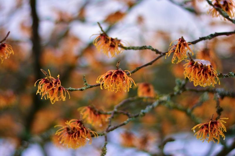 natural-remedies-for-sunburn-9-witch-hazel